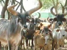 કચ્છના રાતા તળાવ પાંજરાપોળમાં 5500 ગાયની રખાઈ રહી છે સંભાળ, સંચાલકોએ સરકાર પાસે મદદની માગ કરી|ભુજ,Bhuj - Divya Bhaskar