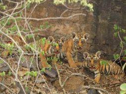 बाघिन टी- 111 चार शावकों के साथ आई नजर, कुल बाघों की संख्या हुई 69|राजस्थान,Rajasthan - Money Bhaskar