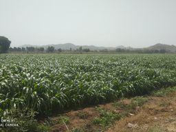 ચાલુ વર્ષે બનાસકાંઠા જિલ્લામાં સૌથી વધુ બાજરીનુ વાવેતર થયું, જિલ્લામાં કુલ 2.66 હેક્ટરમાં વાવણી થઇ|પાલનપુર,Palanpur - Divya Bhaskar