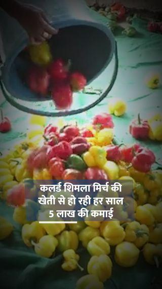 पारंपरिक तरीका छोड़ सरकारी सब्सिडी की मदद से नीदरलैंड की कलर्ड शिमला मिर्च की खेती शुरू की, अब हर साल 5 लाख की कमाई - ओरिजिनल - Dainik Bhaskar