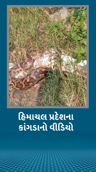 મહાકાય અજગર કૂતરાંને ગળી ગયો, વીડિયો વાઇરલ - ઈન્ડિયા - Divya Bhaskar