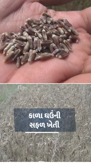 પંજાબની યુનિવર્સિટીએ તૈયાર કરેલા કાળા ઘઉંની ગુજરાતના ખેડૂતે સફળ ખેતી કરી, દોઢ વિઘામાંથી 51 હજાર રૂપિયાનો ચોખ્ખો નફો મેળવ્યો - ઓરિજિનલ - Divya Bhaskar