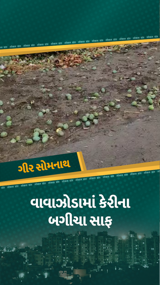તાઉ-તે વાવાઝોડાએ આંબાના બગીચા સાફ કરી નાખ્યા, ખેતરોમાં કેરીના પથારા, 90 ટકા પાક ખરી ગયો - મારું ગુજરાત - Divya Bhaskar