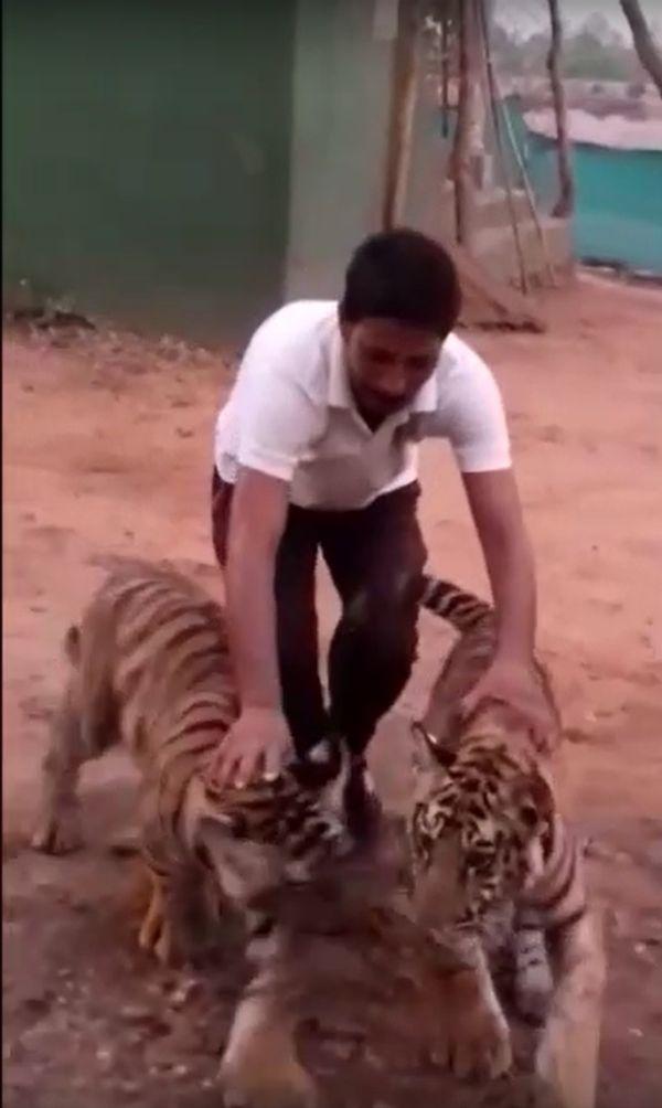 वनकर्मी योगेंद्र और युवा होते बाघों का वीडियो अप्रैल 2019 में सोशल मीडिया में वायरल हुआ।