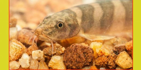 एक साल पहले त्वादोह नदी से मछली की नई प्रजाति खोजी गई थी, इसका नाम शिस्तुरा त्वादोह है।