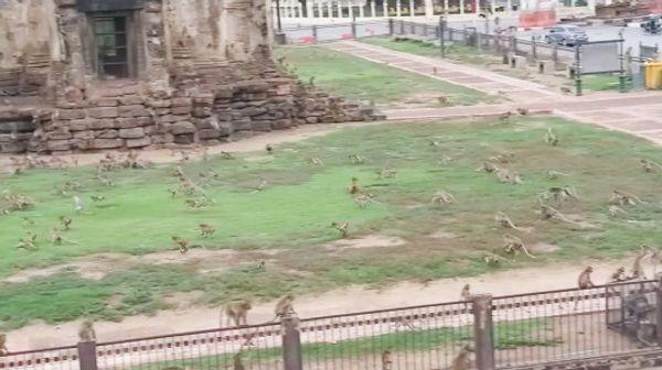 बंदरों का एक गैंग प्राचीन मंदिर के भीतर रहता है, जो एक पॉपुलर टूरिस्ट डेस्टिनेशन है।