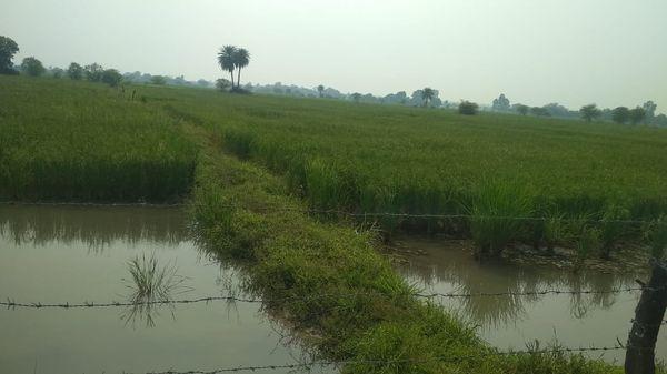 गांव में पानी से भरे धान के खेतों का फाइल फोटो। बासमती धान अब जखनी की पहचान है।