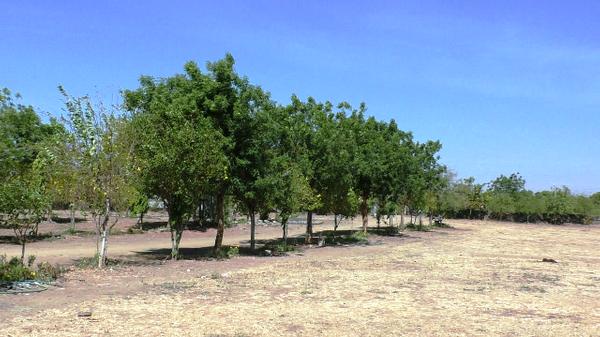 દામજીબાપાએ વૃક્ષા રોપણ કરી ઉછારેલ વૃક્ષો