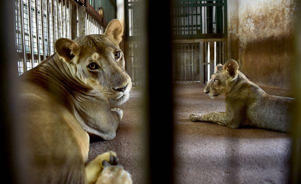 5 शेरों को एनोरेक्सिया (भूख न लगना) और कभी-कभी खांसने के लक्षणों का पता चला था।