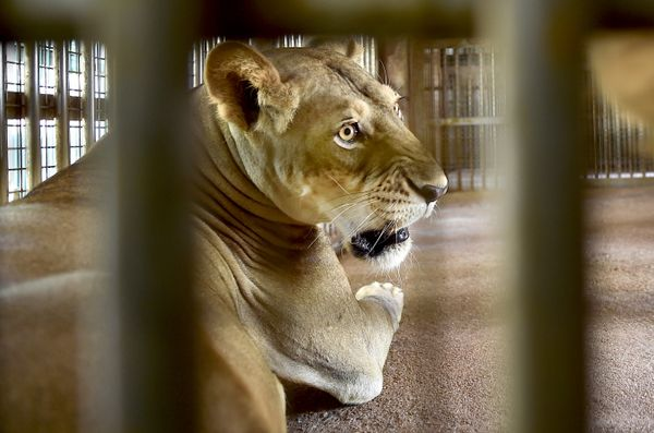 शेरों और बाघों में कोरोना संक्रमण पहली बार बार्सिलोना (स्पेन) और अमेरिका के ब्रोंक्स चिड़ियाघरों में मिला था।