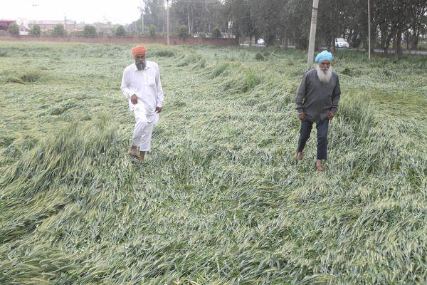 पंजाब के पटियाला में तेज हवा और बारिश की वजह से गेहूं की फसल को काफी नुकसान हुआ है।