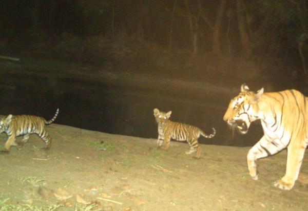 इस बाघिन और शावकों के हैं पगमार्क।