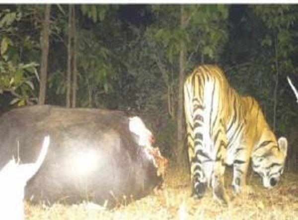इंद्रावती टाइगर रिजर्व में बाघ का शिकार भी नहीं रुक रहा है।