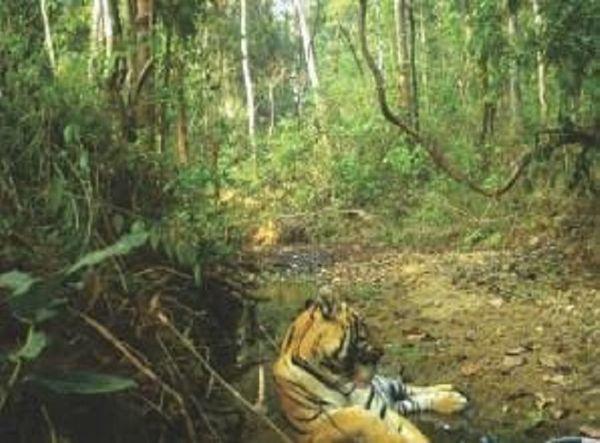 बाघों की सुरक्षा को देखते हुए विभाग ने लोकेशन को सार्वजनिक नहीं किया है।
