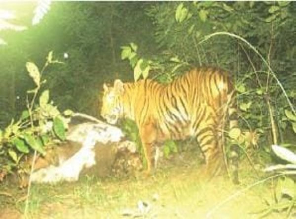 सोमनपल्ली में ग्रामीणों ने बाघ की दहाड़ सुनी थी।