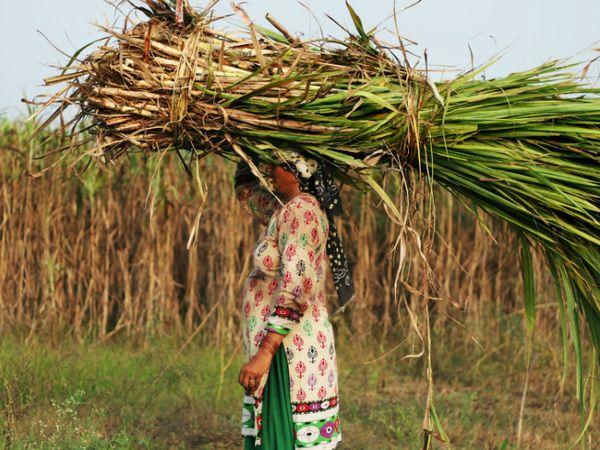 जिनके गर्भाशय निकाले गए उनमें ज्यादातर महिलाएं गन्ना खेतों में काम करती हैं। (सिम्बॉलिक इमेज)) - Dainik Bhaskar