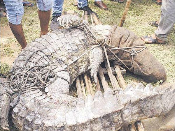 थेगड़ा मुक्तिधाम के पास पकड़ा गया मगरमच्छ। - Dainik Bhaskar