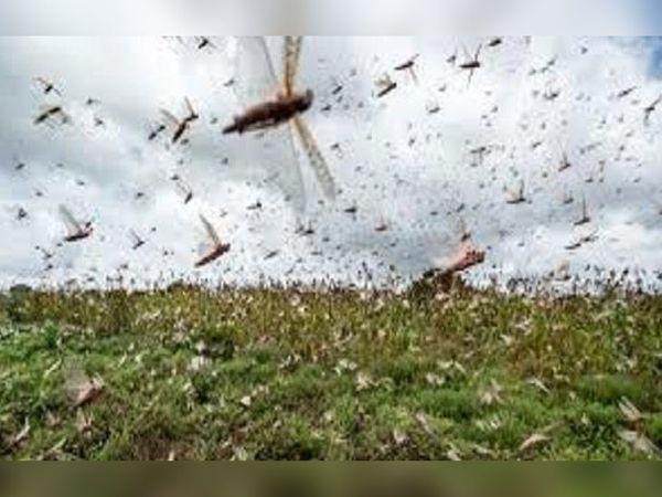 टिड्डी दल के हमले की सिंबॉलिक इमेज। - Dainik Bhaskar