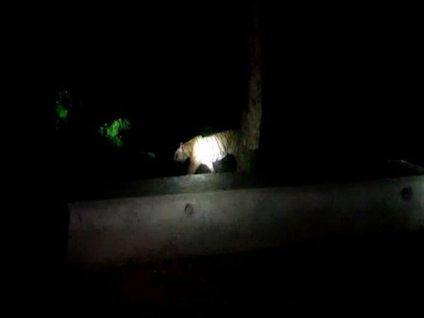 बताया जा रहा है कि बाघ काफी गुस्से में था। वन विभाग का अमला मौके पर पहुंचने के बाद उसकी गतिविधि देखता रहा। जब वह शांत हुआ तो उसे जंगल की तरफ ले गए।