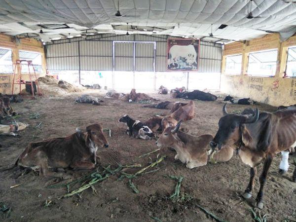 गौशाला में शहर और अन्य इलाकों में घायल और बीमार गायों को रखा जाता है और उनका इलाज होता है।