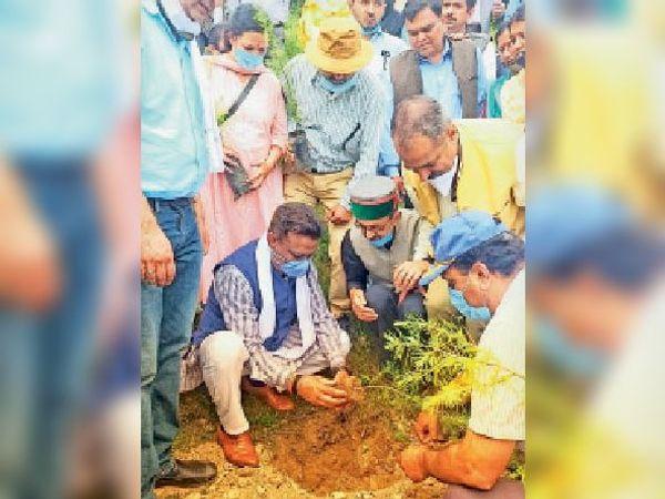 ठियोग के समीप मंगलवार को पौधरोपण करते कांग्रेस के प्रदेशाध्यक्ष कुलदीप राठौर। - Dainik Bhaskar
