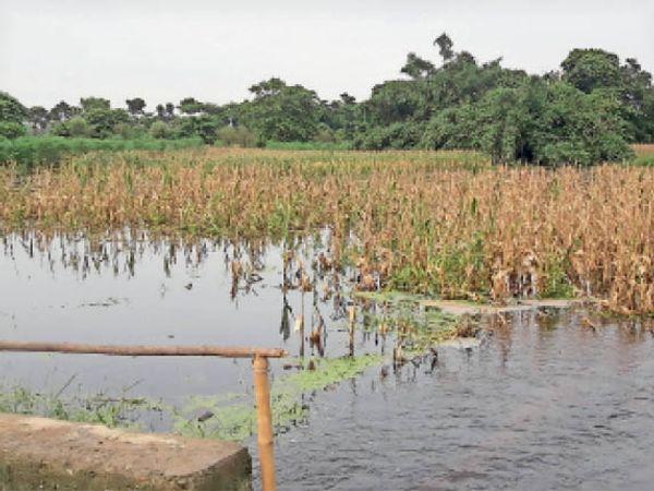 औराई के घनश्यामपुर में मक्के की फसल मंें जमा हुआ मनुषमारा का पानी। - Dainik Bhaskar