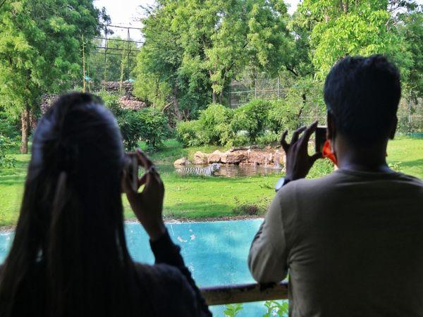 व्हाइट टाइगर को कैमरे में कैद करते पर्यटक । - Dainik Bhaskar