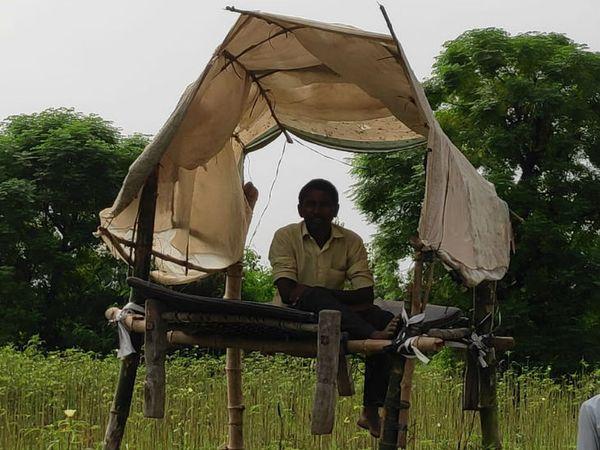 शामली जिले में मचान पर बैठा किसान। - Dainik Bhaskar
