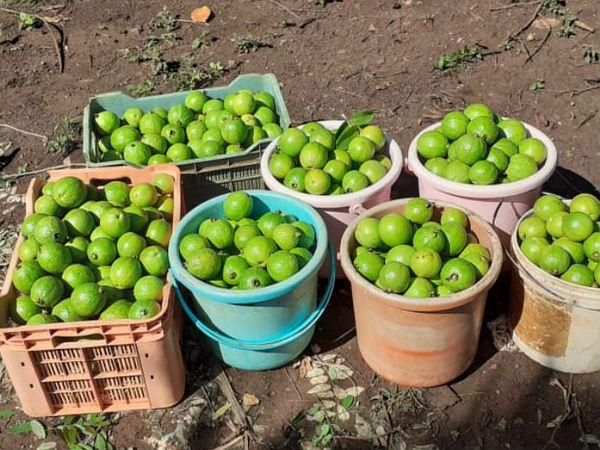 आज हर दिन 4 टन अमरूद उनके बगीचे से निकलता है। उन्होंने तीन किस्म की अमरूद अपने बगीचे में लगाए हैं।