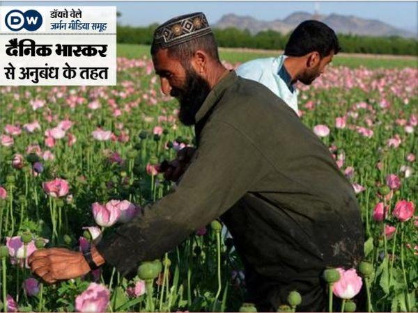 दक्षिणी अफगानिस्तान में करीब 14 लाख लोग अफीम की खेती करते हैं। यहां इस खेती की वजह से पानी का स्तर तेजी से कम हो रहा है। - Dainik Bhaskar