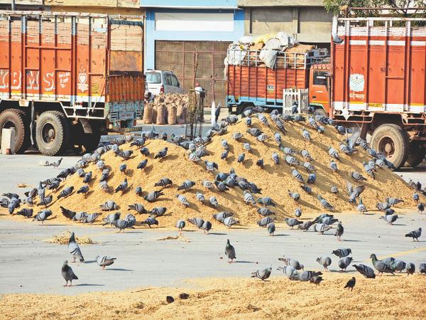 अनाज मंडी में धान आने से परिंदों की मौज हो गई। दिनभर धान की ढेरियों पर कबूतर अठखेलियां कर उसे खाते रहते हैं। - Dainik Bhaskar