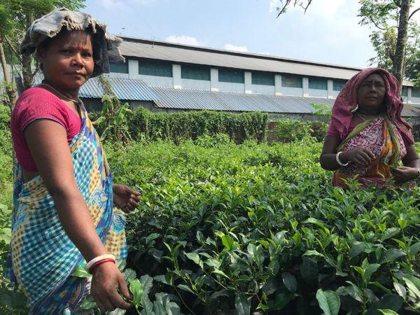 सरकारी आकंड़ों के मुताबिक, बिहार में 11 हजार एकड़ जमीन पर चाय की खेती हो रही है।