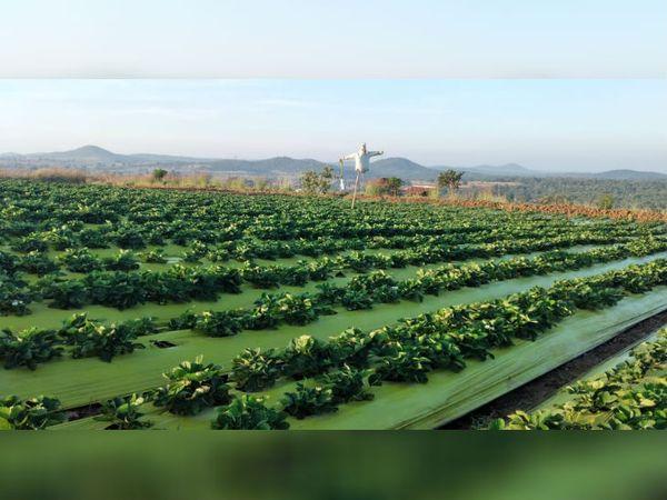 एक एजेंट की मदद से शशिधर ने कैलिफोर्निया से स्ट्रॉबेरी के पौधे 250 मंगवाए और सितंबर 2019 में खेती शुरू की।