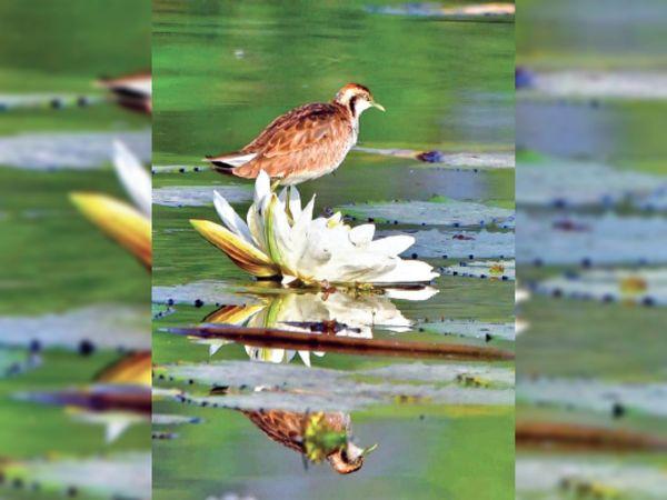 कमल के फूल पर बैठा पिहू। - Dainik Bhaskar