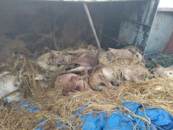 छत्तीसगढ़ के बलौदाबाजार में ट्रक पलटने से 15 बछड़ाें की मौत हो गई। जबकि हादसे के बाद चालक ट्रक के अंदर ही फंस गया। - Dainik Bhaskar