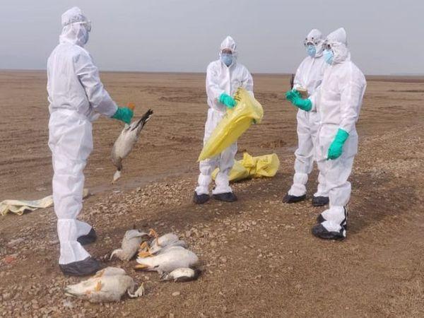 पक्षियों की मौत का आंकड़ा बढ़ने पर अधिकारियों ने तत्काल पर्यटन गतिविधियों पर रोक लगा दी है। - Dainik Bhaskar