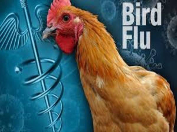 बर्ड फ्लू इंफेक्शन चिकन, टर्की, मोर और बत्तख जैसे पक्षियों में तेजी से फैलता है। - प्रतीकात्मक तस्वीर - Dainik Bhaskar