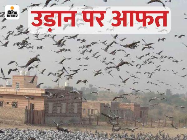 जोधपुर जिले के खीचन में प्रवासी पक्षी कुरजा इस समय डेरा जमाए हुए हैं। - Dainik Bhaskar