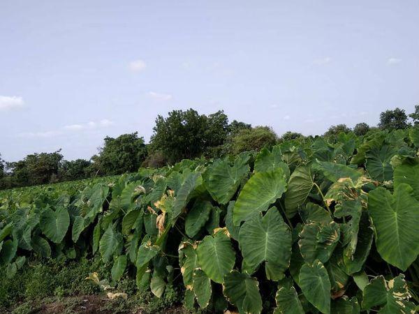अरबी की पत्तियों में विटामिन A, मिनरल्स जैसे फास्फोरस, कैल्शियम, आयरन और बीटा कैरोटिन पाया जाता है।