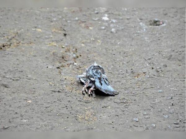 सागर   मोहननगर वार्ड में 1 कबूतर और बीना में 3 मोर मरी मिलीं। - Dainik Bhaskar