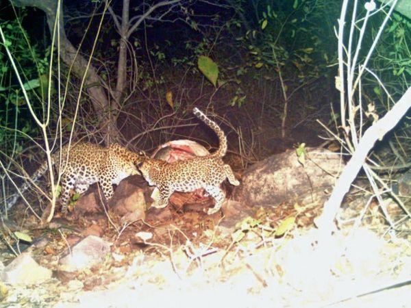 शावक और तेंदुआ मां की तस्वीर - Dainik Bhaskar