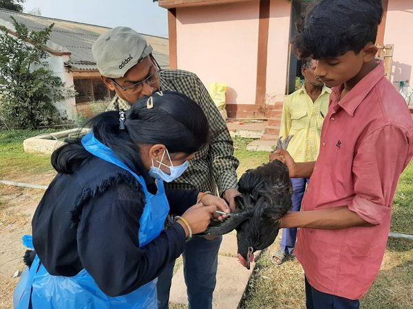 बालोद के संक्रमित पोल्ट्री फार्म से 11 जनवरी को भेजे गए थे नमूने। अब जिले में सभी पोल्ट्री उत्पादों की जांच होगी। - Dainik Bhaskar
