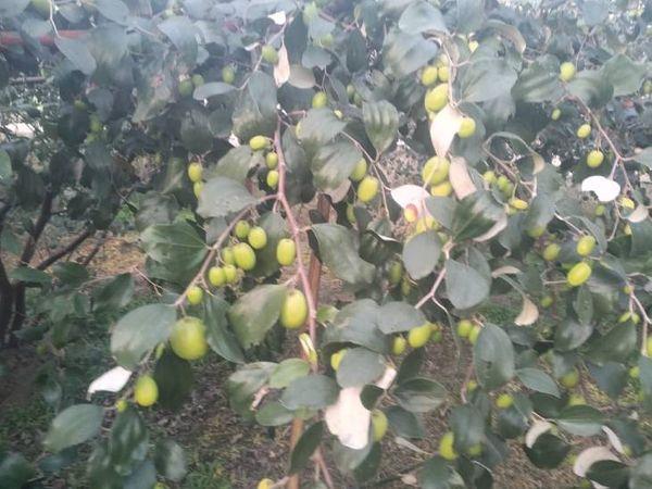 सतबीर थाई एप्पल बेर के पौधे रायपुर से लाए थे। वो बताते हैं कि इसकी खेती से प्रति एकड़ तीन से चार लाख रुपए की कमाई हो सकती है।