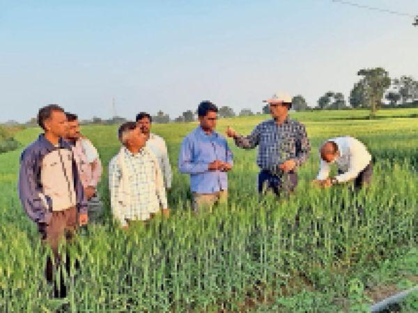 होशंगाबाद। खेत में किसानों को गेहूं की फसल में इल्ली बताते कृषि अधिकारी। - Dainik Bhaskar