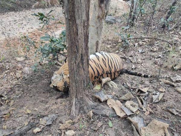 पेंच के कोर एरिया में मृत मिला नर बाघा। बीमारी से मौत की बात कही जा रही। - Dainik Bhaskar