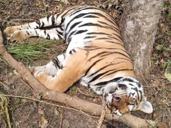 कान्हा नेशनल पार्क में शिकारियों के फंदे में फंस कर बाघिन की मौत हो गई थी।