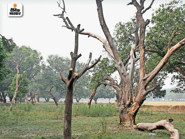 ट्रिपल आईटी के नए बिल्डिंग के लिए जिन पेड़ाें काे शिफ्ट किया गया, वे सभी सूख गए हैं। - Dainik Bhaskar