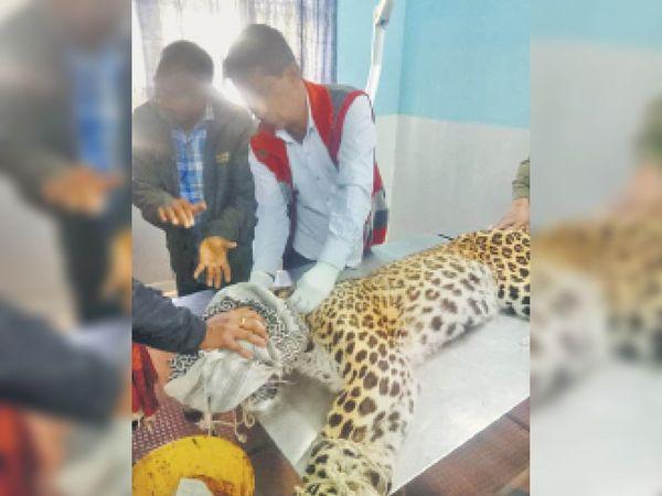 सवाई माधोपुर| घायल पैंथर का उपचार करते चिकित्सक। - Dainik Bhaskar