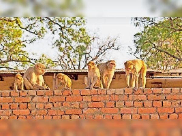 करनाल. करनाल की गलियों में बंदर। फाइल फोटो - Dainik Bhaskar