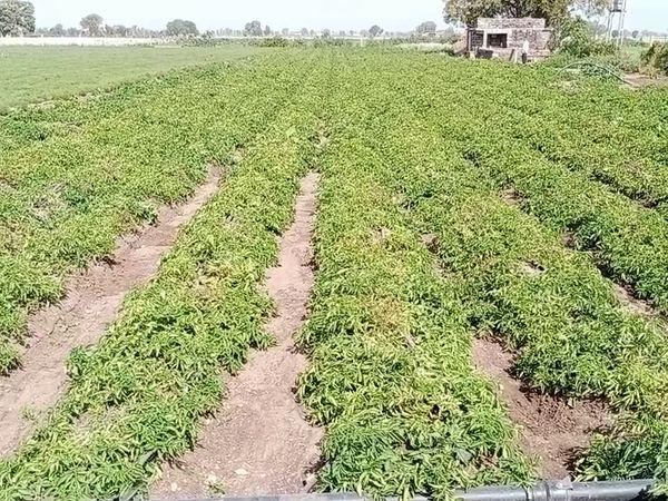 अक्टूबर में इसकी खेती की जाती है। बीज की बुआई से पहले उसका ट्रीटमेंट जरूरी होता है। तीन महीने बाद आलू तैयार हो जाती है।